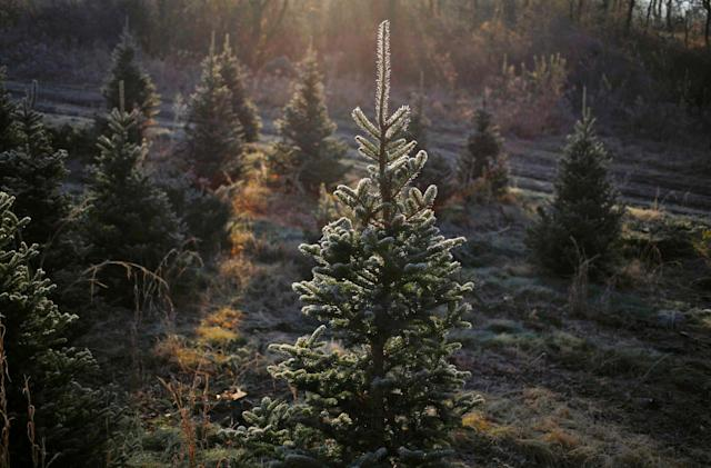 Amazon will sell full-size, live Christmas trees this holiday season