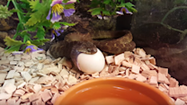 Snake Gobbles a Whole Egg at Once