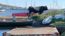 Toro sul lungomare sardo: attaccati 3 turisti