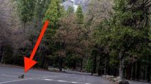 Casual Coyote Enjoys One Of The Most Iconic Views In Shuttered Yosemite