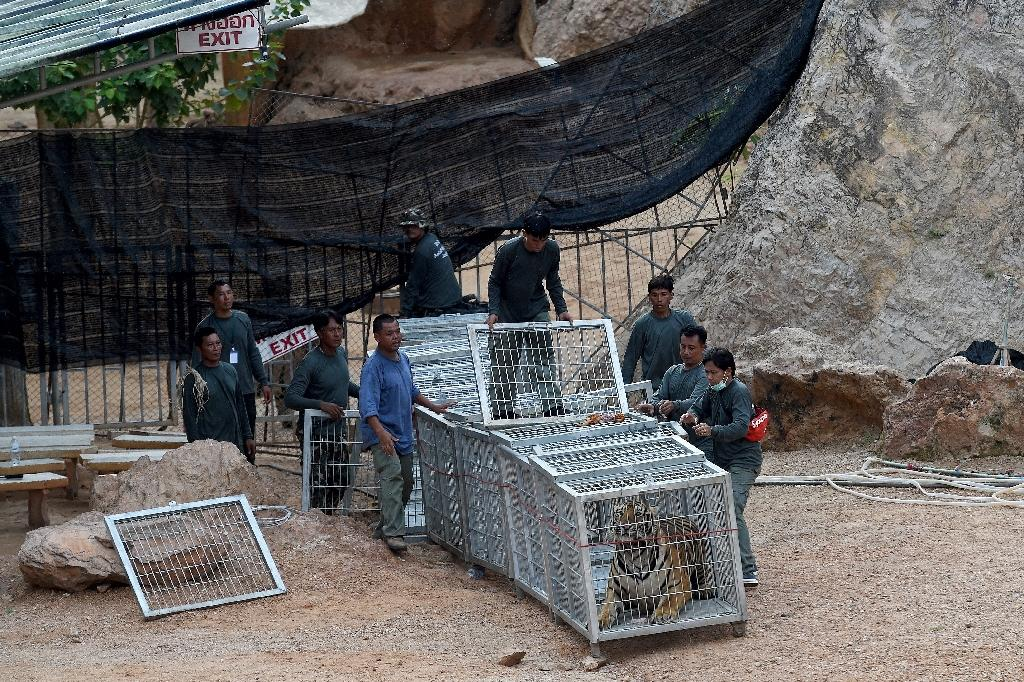 """Thai wildlife officials capture a tiger and remove it from an enclosure at the Wat Pha Luang Ta Bua """"tiger temple"""" in Kanchanaburi province, western Thailand, on May 30, 2016 (AFP Photo/Christophe Archambault)"""