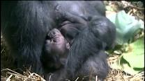 Western lowland gorilla, Amur tiger give birth again at Pittsburgh Zoo & PPG Aquarium