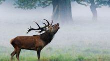 """""""C'était fort à vivre, très fort !"""" : dans l'Oise, des amateurs de nature partent à l'écoute du brame du cerf"""