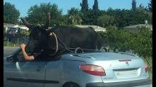 VIDEO - Tranquille, il transporte sa vachette à l'arrière de son cabriolet