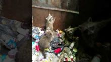 Good Samaritan Helps Baby Raccoons Escape From Dumpster