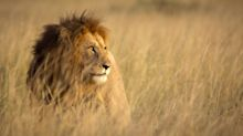 """""""Le Roi Lion"""" : Disney s'engage pour la protection des lions"""