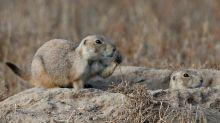 Plague-infected prairie dogs cause shutdown of Colorado wildlife refuges