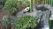 Calgary Zoo's Live PandaCam Is Here For All Your Procrastination Needs