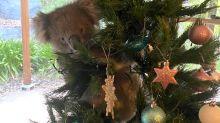 Adorable moment koala sneaks into Australian family home to climb Christmas tree