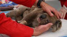 Australie: trois milliards d'animaux ont été touchés par les feux de forêt, selon une étude
