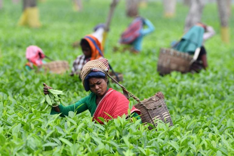While rare teas fetch record prices, the Indian Tea Association says the industry is in crisis