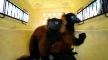 Rare twin red-ruffed lemurs born at Singapore zoo