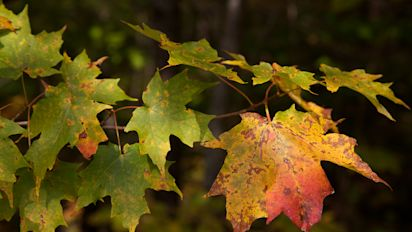 Fall foliage business will buy a maple leaf for $1
