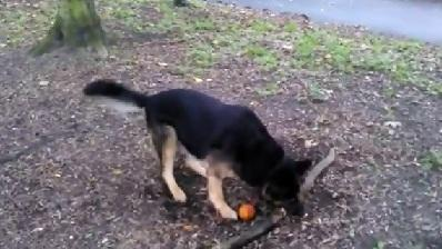 Determined Dog Tries Picking Up Tree Root