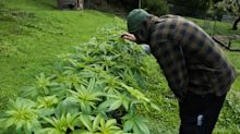 Small pot farmers in California fear Trump — but Big Business could be a bigger threat