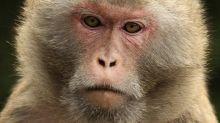 Vacuna para el covid-19: el desabasto de primates que pone en riesgo la investigación en EE.UU.