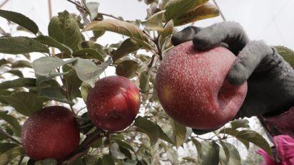 Move over, Honeycrisp: New apple to debut soon