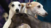Cientistas decifram olhar enternecedor dos cachorros