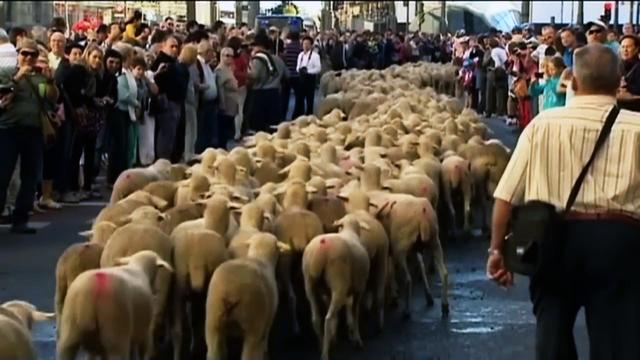 Watch: 2,000 sheep walk streets of Madrid, legally