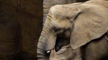 Dipendente di uno zoo morto colpito dalla proboscide di un elefante