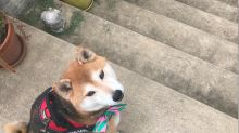 Shiba Inu guide dog helps blind handler down stairs