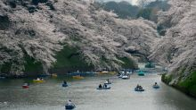 Blooming early! Japan's famed cherry blossoms make unexpected appearance