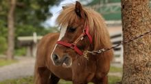 Meet-and-pet miniature horses at Ion Orchardfor a good cause