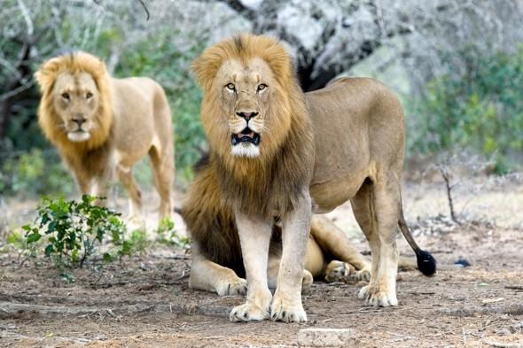 <p> African lions are the biggest of the big cats, and are known to kill around 70 people in Tanzania alone every year. With the destruction of their habitat, human attacks by leopards in India, and the North American mountain lion are thought to be on the increase.<br /> <strong>Kills:</strong> An estimated 800 people a year.<br /> <strong>Deadly technique:</strong> African lions will often use strangulation to kill their prey, while tigers will attack from the back and aim for the jugular, and mountain lions will maul their victims.<br /> <strong>Lives in:</strong> Africa, North America, and India</p>
