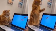 Cat has remarkable reaction to seeing a fish on a laptop