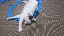 【有片】當Thomas火車頭遇到貓 變貓用按摩槍?