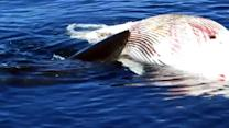 Watch: Sharks feast on whale carcass in Calif.