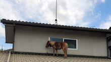【日本水災】做隻出色的馬仔 日本馬仔屋頂避難3日大團圓