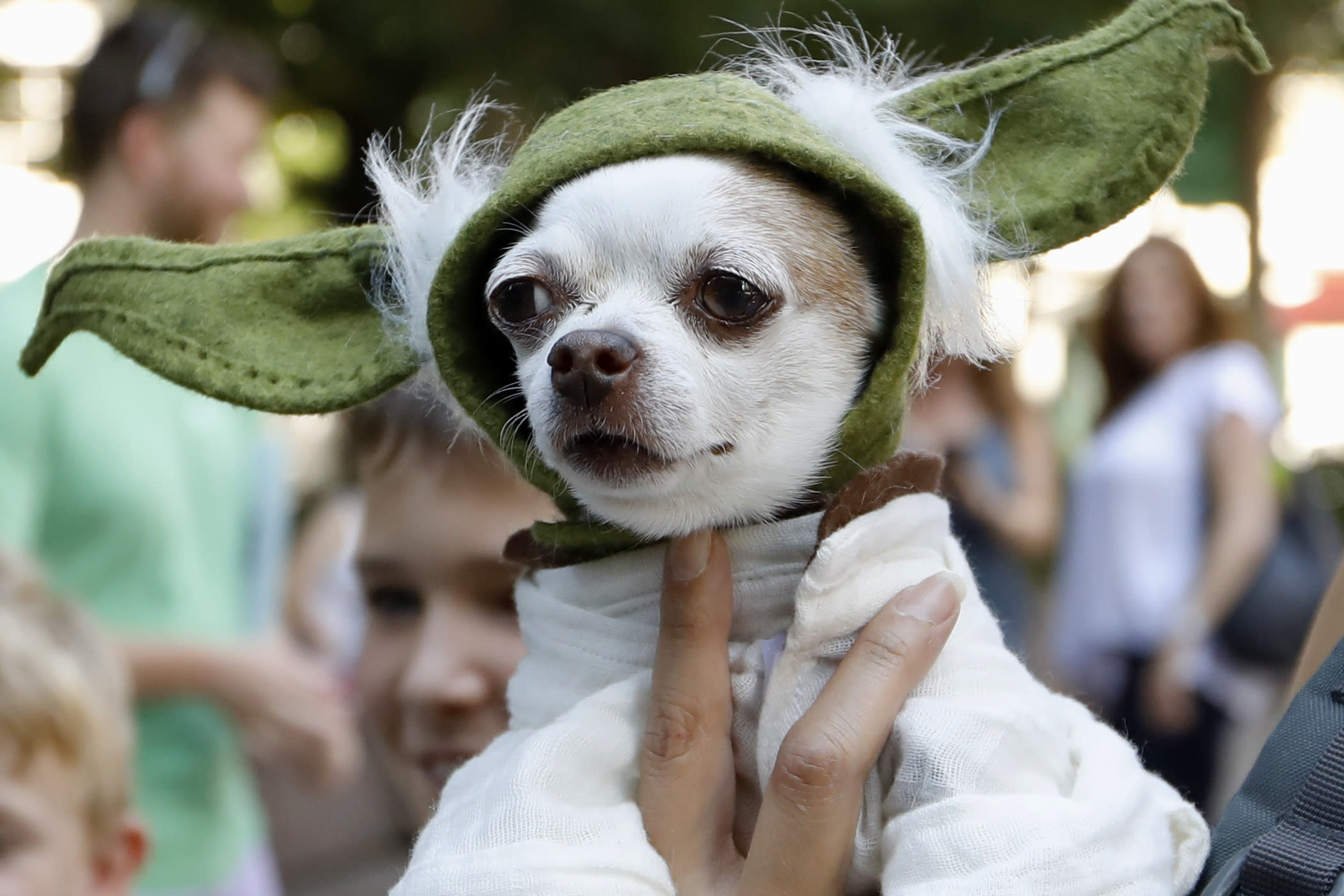"""A dog dressed as Yoda from """"Star Wars"""" won the cosplay costume contest award at Doggy Con in Woodruff Park, Saturday, Aug. 17, 2019, in Atlanta. Cosplay is the practice of dressing up like a fictional character. (AP Photo/Andrea Smith)"""