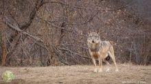 Costa: lupo di Otranto trasferito in centro tutela Monte Adone