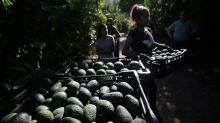 Avocado town becomes symbol of Chile's water war