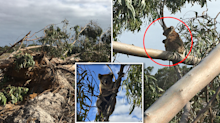 'I feel devastated': Investigators rush to timber plantation after koalas spotted in felled trees