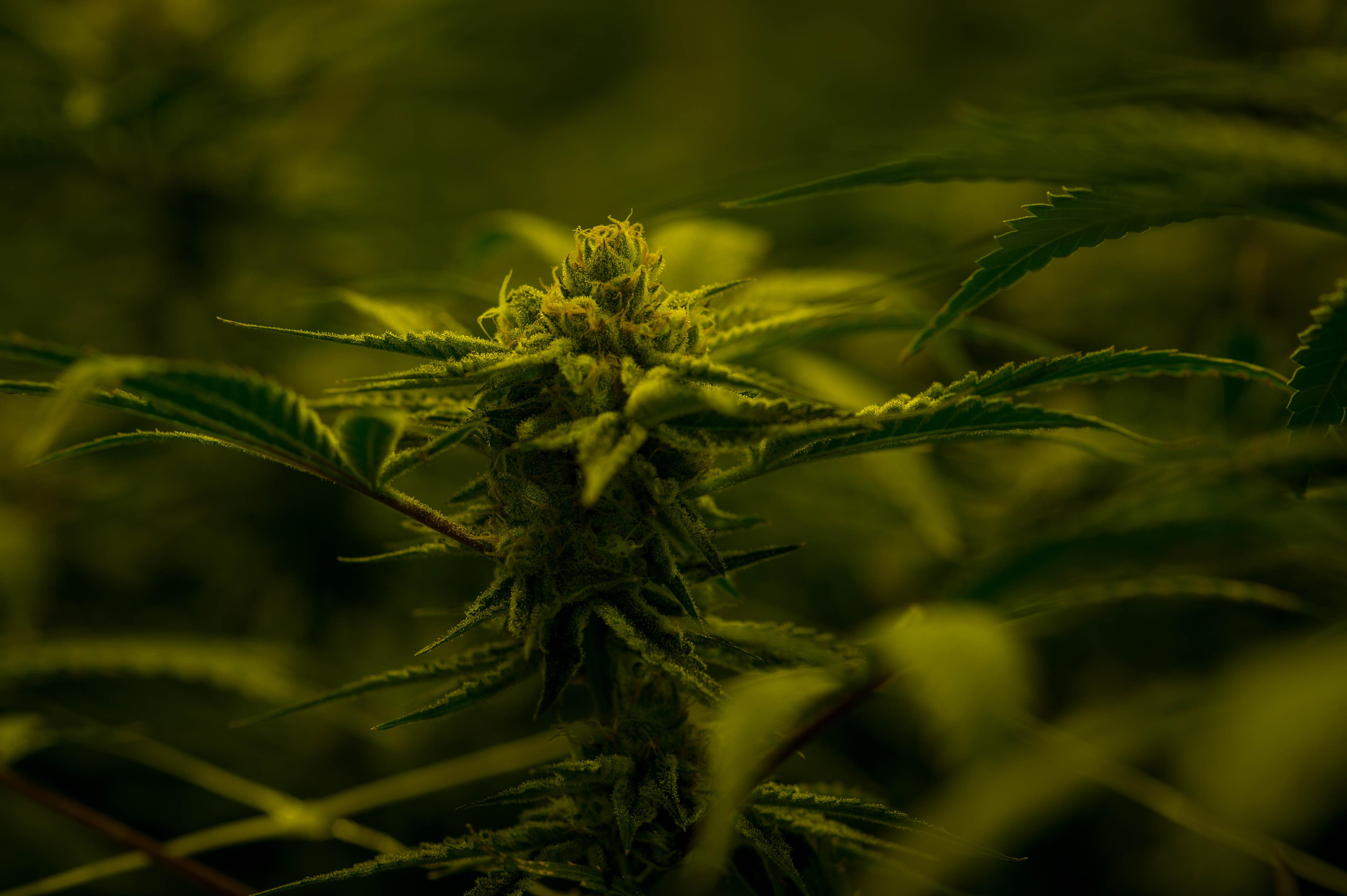 Altria Cannabis
