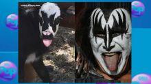 Newborn calf has uncanny resemblance to Kiss rocker Gene Simmons