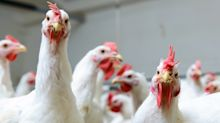 Animal Welfare Groups Slam Proposal To Speed Up Poultry Plant Lines