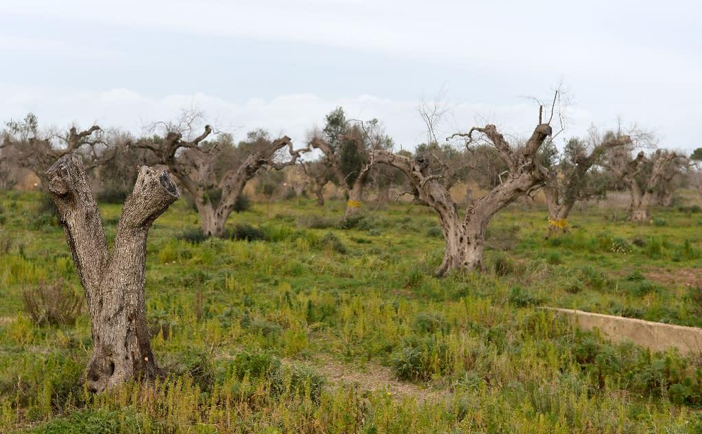 """Olive trees infected by the bacteria """"Xylella Fastidiosa"""" in Gallipoli near Lecce in the Puglia region (AFP Photo/Tiziana Fabi )"""