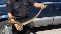 Family Finds 10-Foot Python in Their Home