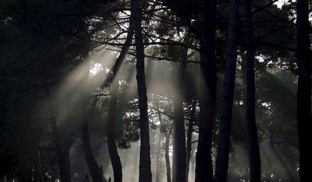 The autumn sun shines through a pine forest in Andernos near Bordeaux, southwestern France, in this September 30, 2014 file photo. REUTERS/Regis Duvignau/Files