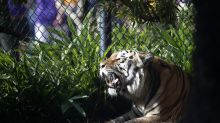 LSU may have found its new tiger mascot, and he's very cute (Photo)