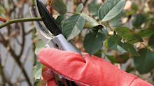 A quick guide to winter rose pruning