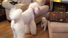 New puppy addition hilariously plays with Giant Poodle