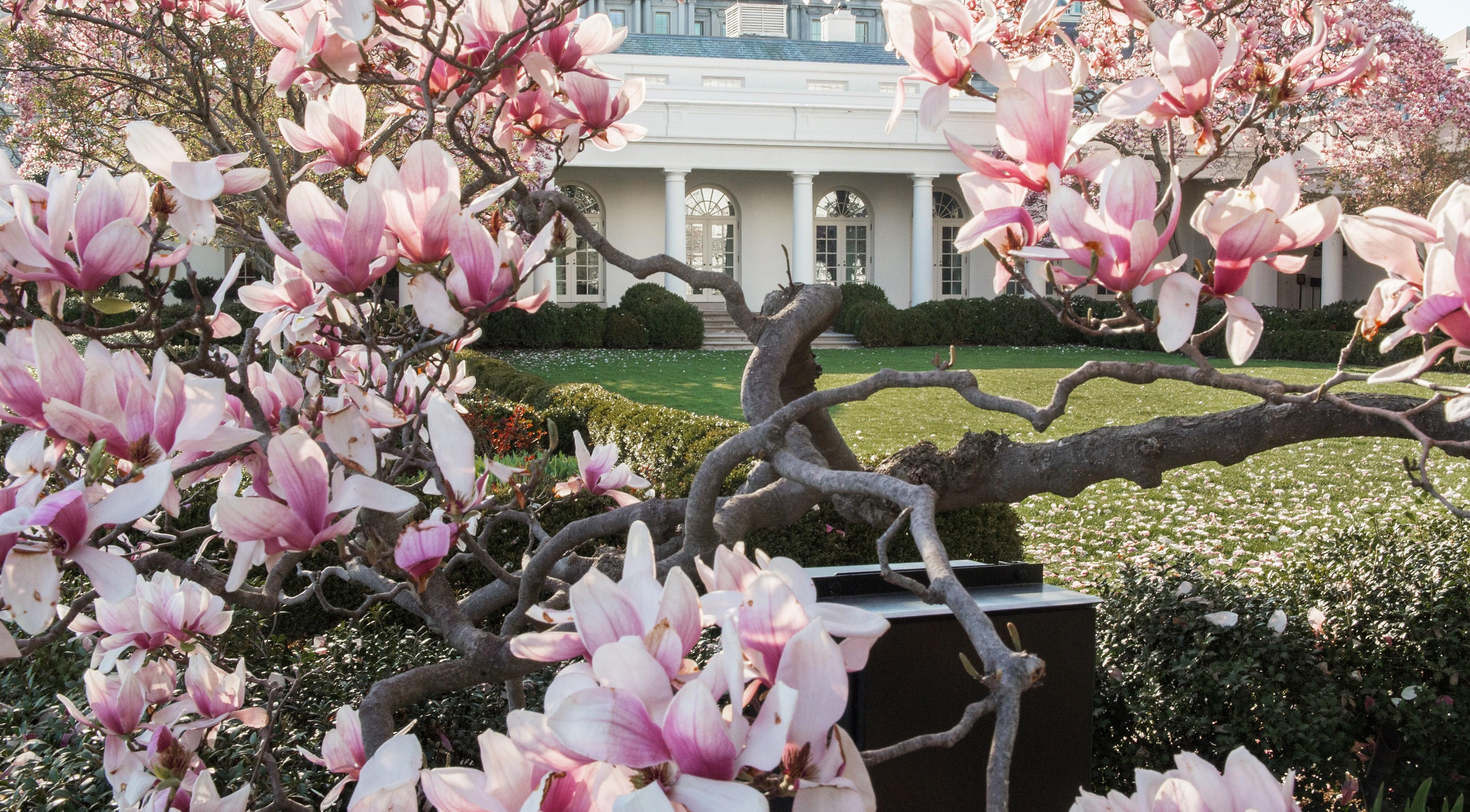 Part Of White House Tree Planted By Andrew Jackson To Be Removed