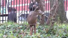 Lefty, the Harlem deer, dies in tragic end to local political drama