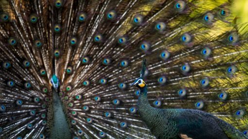 Myanmar's peacock: a national symbol dying off in the wild