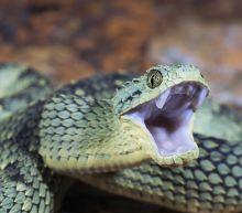 Venomous viper bites worker at San Diego Zoo
