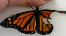 Opération papillon